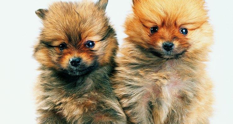 El corte de oso de peluche es apto para cachorros también.
