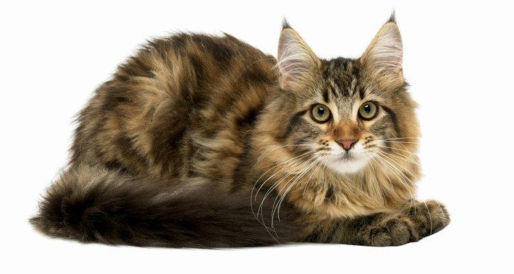 Se a gata estiver doente ou sentir que irá morrer, ela pode rejeitar seus filhotes