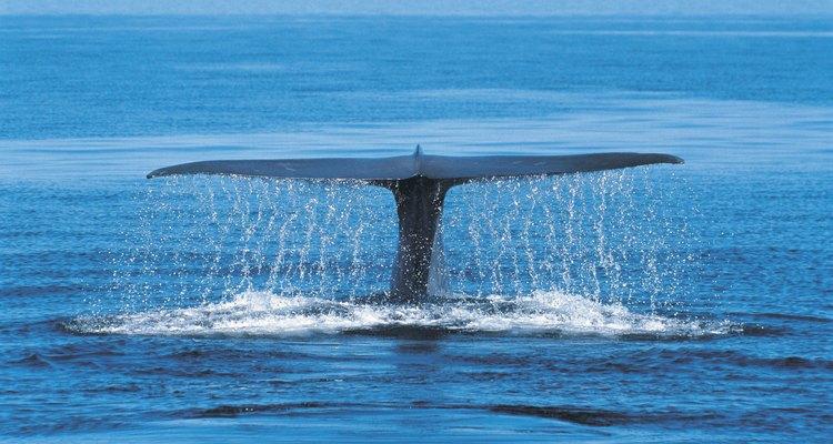 Las ballenas azules se sumergen a grandes profundidades.
