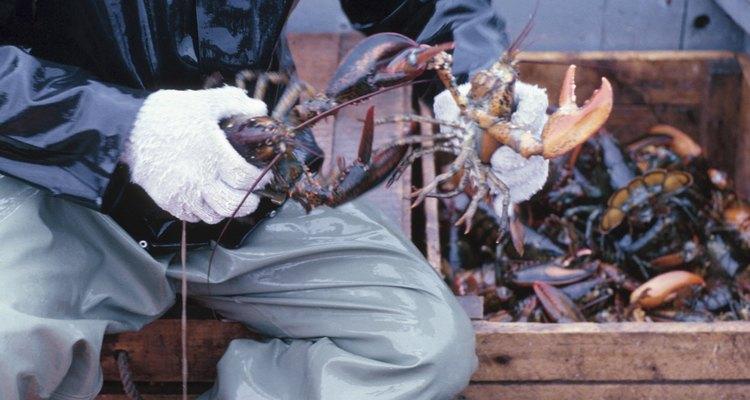 Reprodução assistida em criação de lagostas em cativeiro