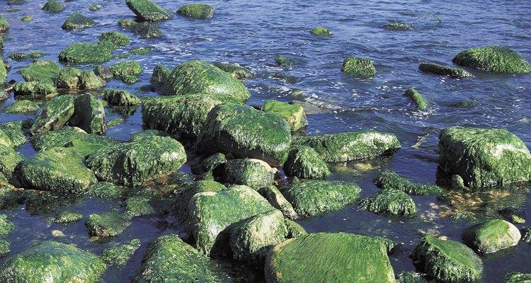 O habitat de algas azuis