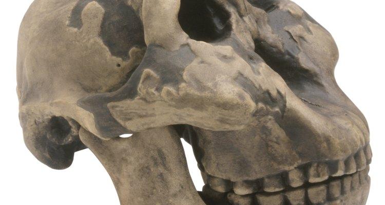 El género Homo incluye a los seres humanos modernos y a sus parientes antiguos ya extintos.
