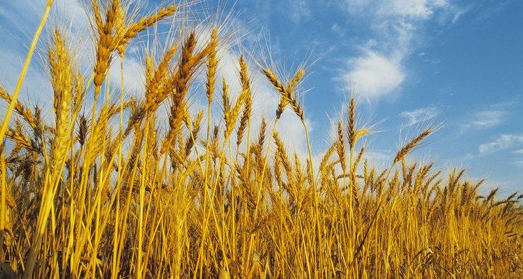 Entiende el crecimiento de las plantas de trigo