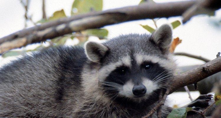 As árvores fornecem abrigo para muitos tipos de animais, como os guaxinins