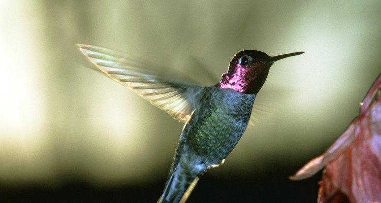 Os comedouros para beija-flor devem ser mantidos impecavelmente limpos