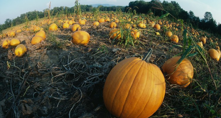 Las calabazas se benefician con la aplicación de mantillo y fertilizante.