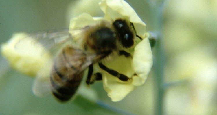 A abelha é muito importante para o ecossistema