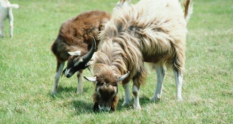 Cabras às vezes tentam comer coisas que não devem