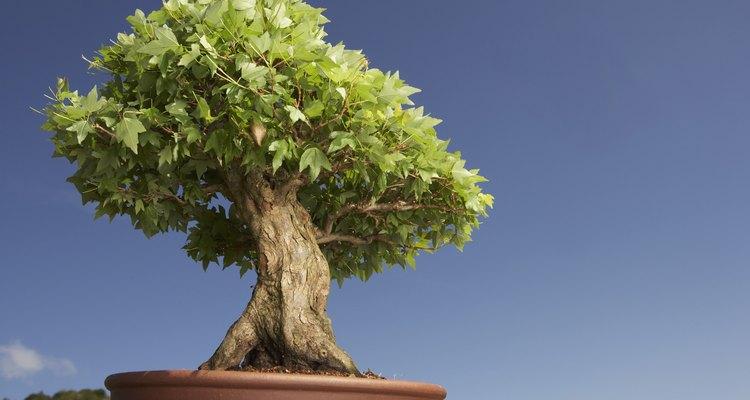 Las hojas amarillas en los árboles bonsái no son saludables.