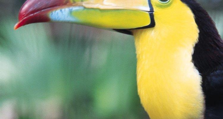 Los tucanes son aves coloridas de América del Sur.