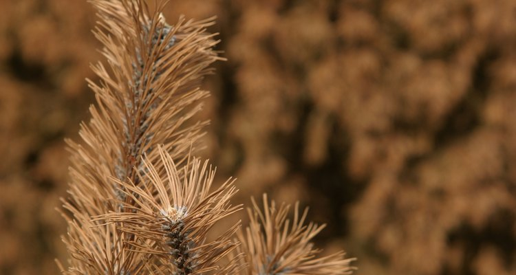 Dead needles are an indicator of a blight or dieback disease.