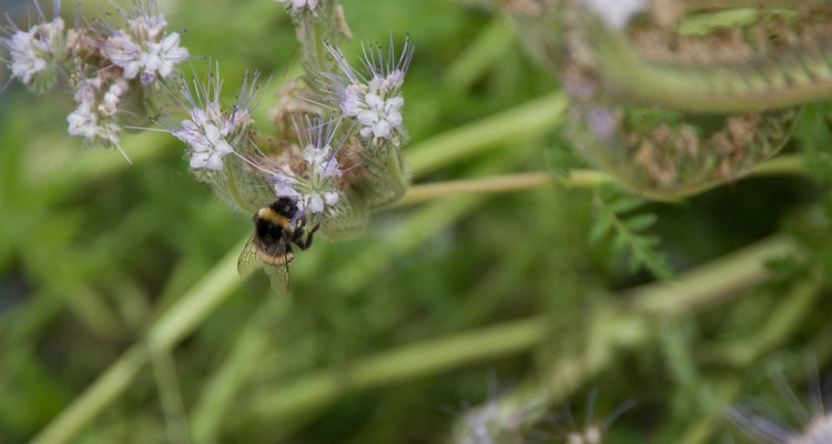 La lavanda atrae a alas abejas.