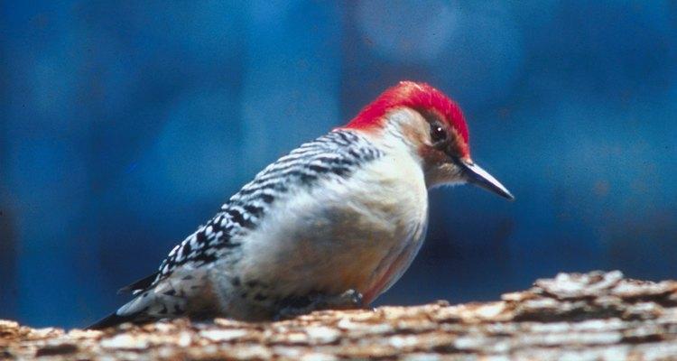 Los pájaros carpinteros de América del norte pueden encontrarse comiendo insectos en áreas boscosas.