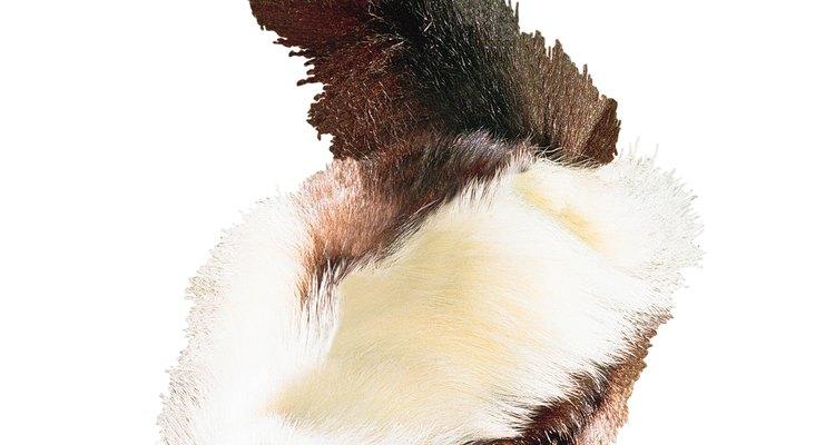 O gambá levantara a cauda como um alerta antes de liberar o líquido fétido