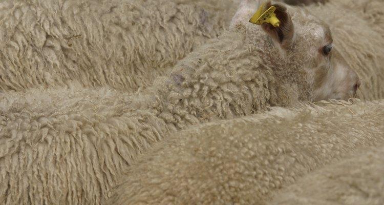 Vacine suas ovelhas para evitar doenças