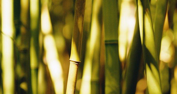 El bambú es una planta que prolifera rápidamente.
