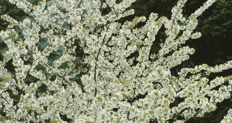 Los árboles de cerezos en flor se propagan a partir de esquejes.