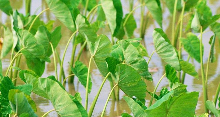 """La alocasia polly es una planta tropical prima de la """"oreja de elefante""""."""
