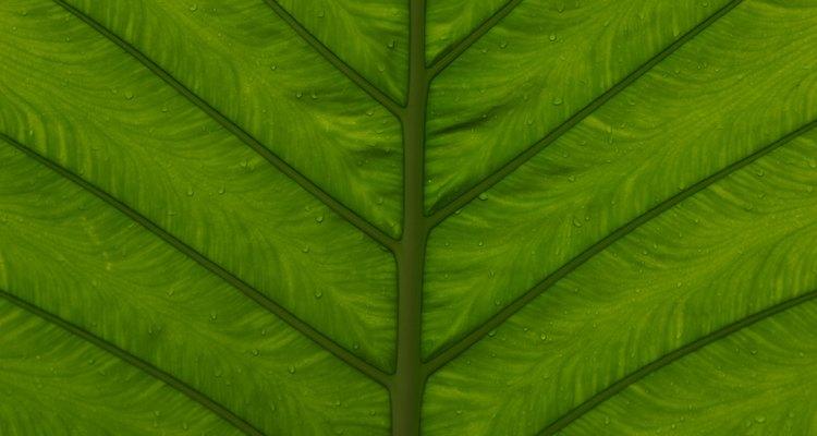 Las plantas almacenan la mayor parte de su clorofila en las hojas.