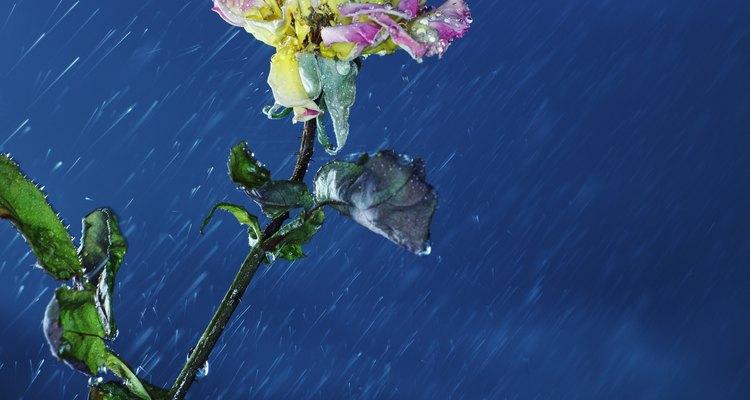 Pequeñas estructuras similares a pelos a los lados de los tallos de la pata de canguro ayudan a retener agua de lluvia y rocío.