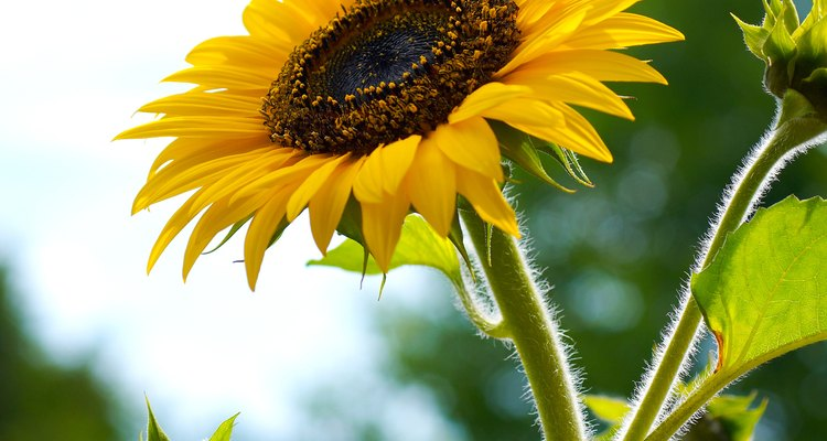 Cutting sunflowers at the right time can extend their indoor life.