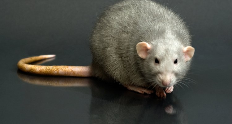 Repel rats to keep disease out of your home.