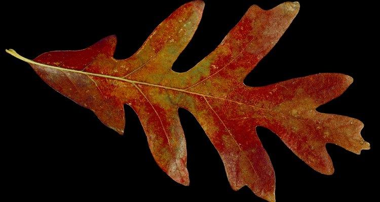 La hoja de roble rojo le debe su nombre al color que toma en otoño.
