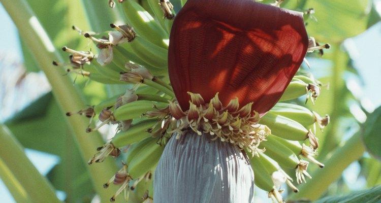Las flores del plátano abren por partes. Las flores femeninas abren primero.