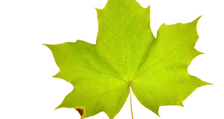 Estudantes podem entende a clorofila melhor ao extraí-la de folhas