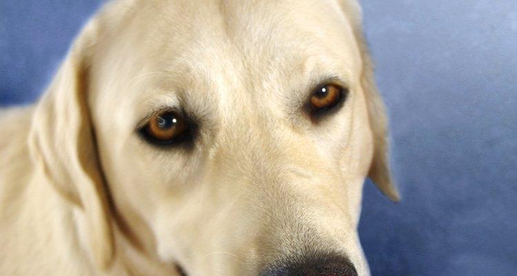 Um labrador retriever possui traços que são similares aos de um pastor branco