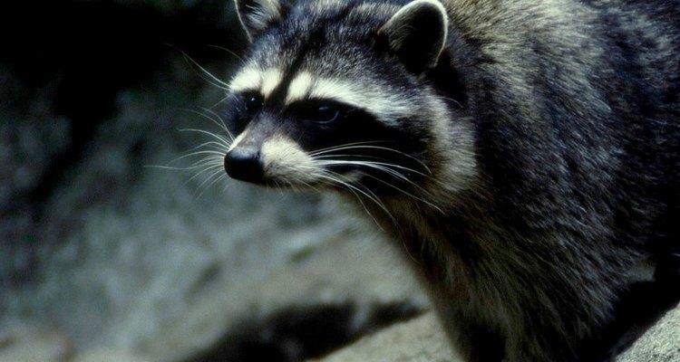 Los mapaches tienen diferentes predadores.