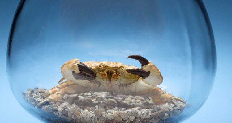 Um aquário de pelo menos 40 L a 75 L é o ideal para garantir o conforto do caranguejo do manguezal
