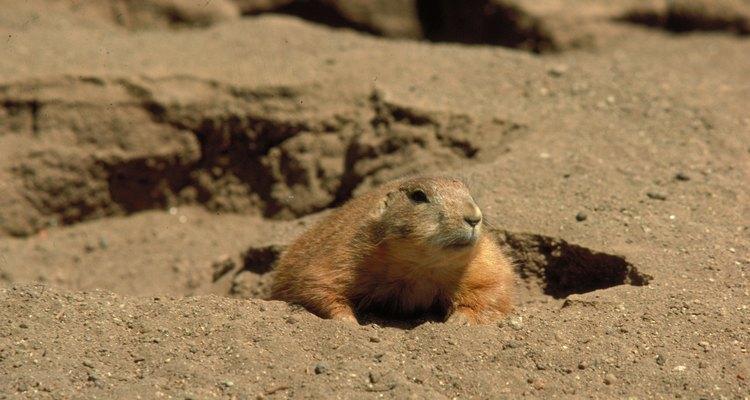 Gambás e guaxinins usam buracos cavados por marmotas