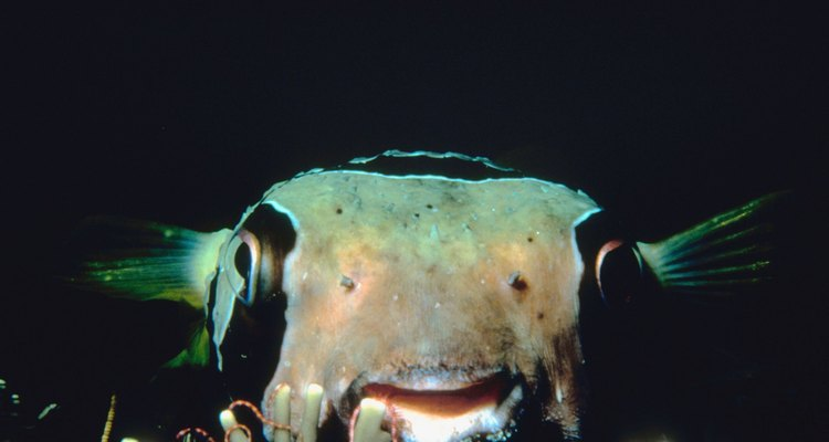 Los peces globo tienen un mortal veneno en sus espinas y en sus órganos.