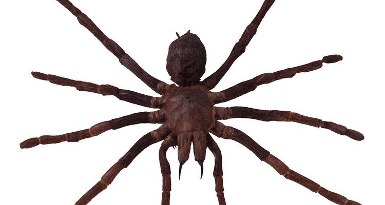 Spiders only attack when they feel threatened.