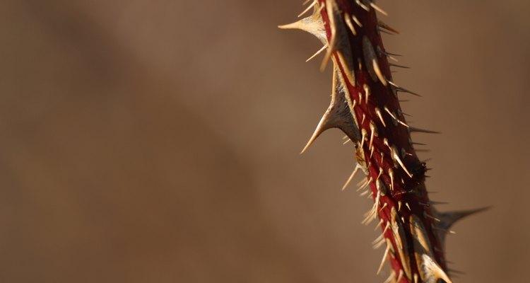 Espinhos podem ser doloridos e difíceis de remover