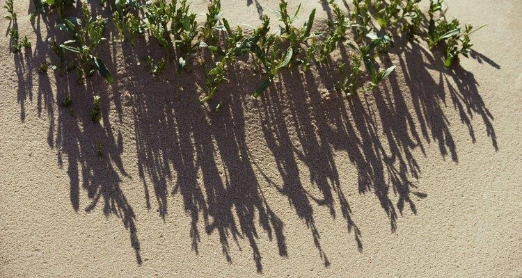 Animais e plantas que vivem em dunas de areia se adaptaram ao ambiente hostil