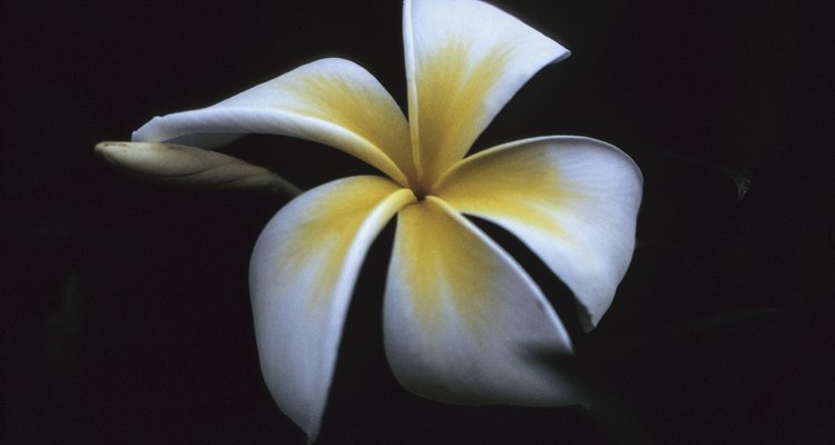 La plumería produce flores aromáticas.