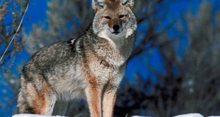 Los coyotes comen todo lo que pueden encontrar durante el invierno.