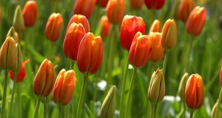 Cultivar tulipanes a partir de bulbos es más fácil que hacerlo a partir de semillas.