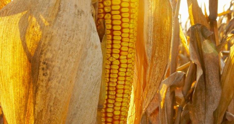 Algunas variedades de maíz tienen espigas multicolores.