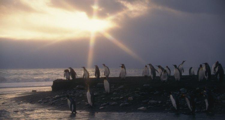 Os pinguins-reais são reconhecidos pela maioria dos cientistas como uma espécie separada