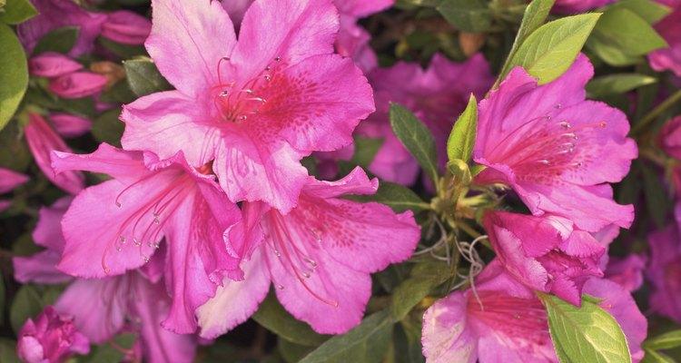 El podar las azaleas demasiado tarde puede causar problemas en la próxima temporada de siembra.
