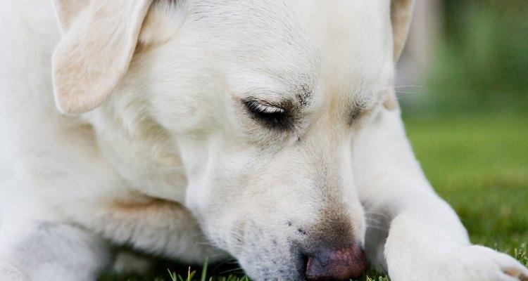 Inalar grama pode fazer com que ela fique alojada nas passagens nasais do animal
