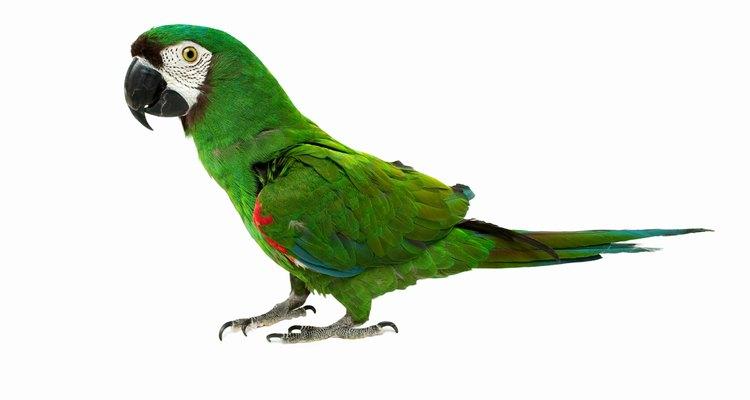 É normal os papagaios gritarem um pouco