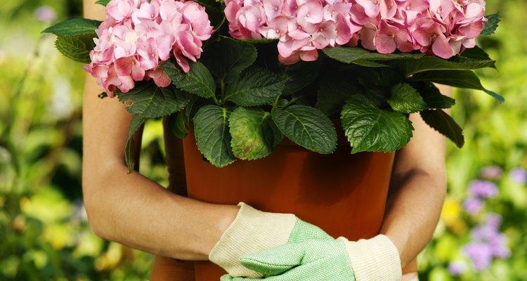 A begônia é uma flor imperfeita e também incompleta