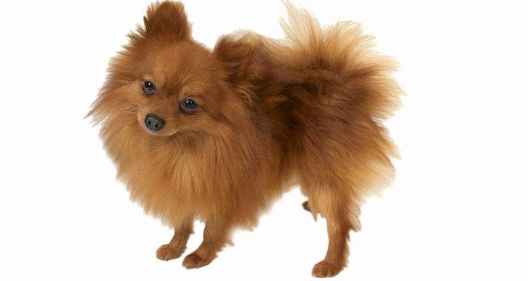 Utiliza toalla y secadora para secar perfectamente el pelo de tu Pomerania.