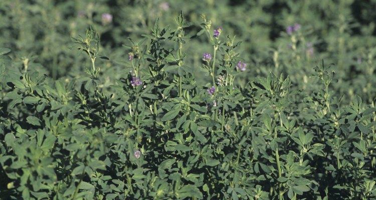 Después de ocho semanas, la parte inferior de los tallos de alfalfa se abandonan en el suelo en previsión del clima frío.