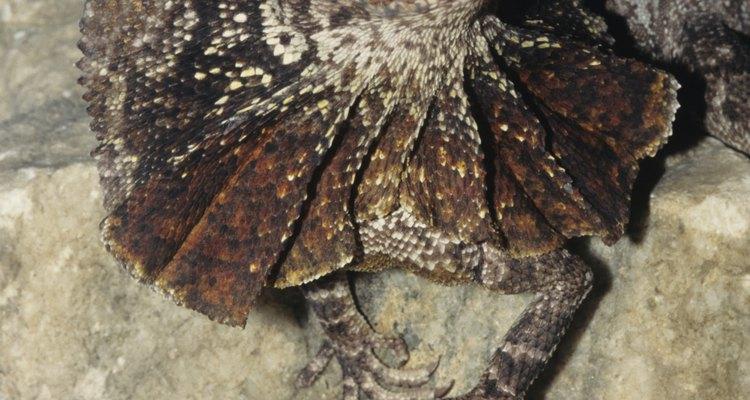 Los lagartos de collar se mimetizan con rocas, árboles y arena.