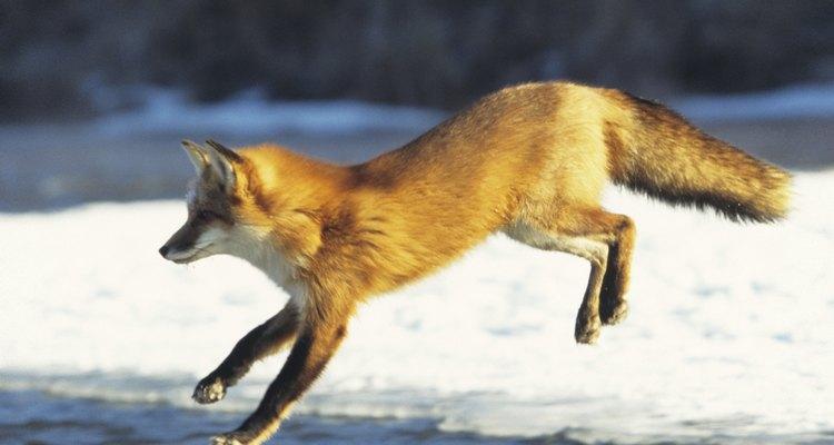 Capturar uma raposa pode ser um desafio